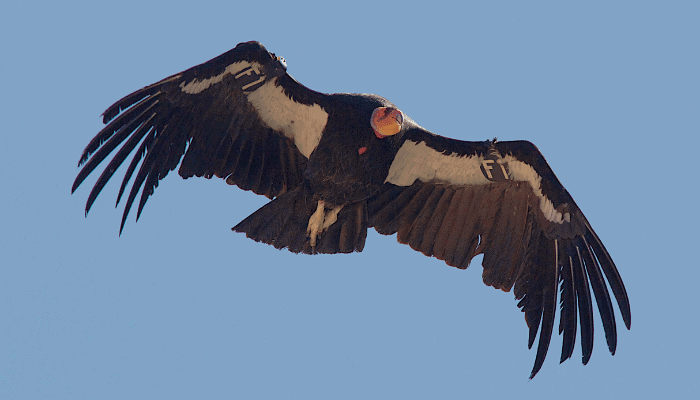 Endangered Birds of North America