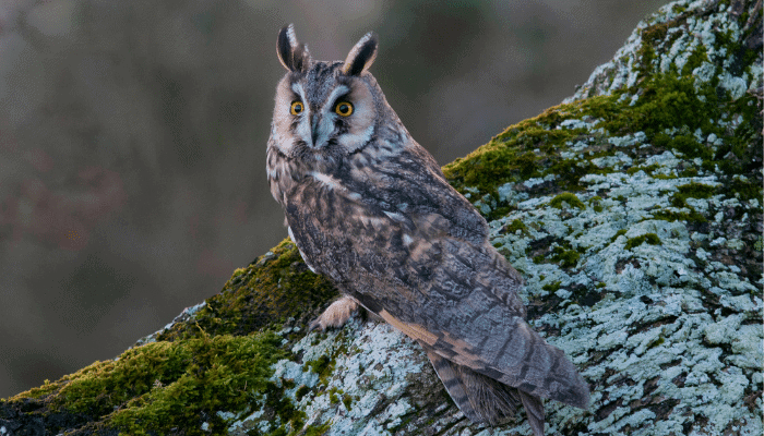 Long-Eared Owl – Some Interesting Facts
