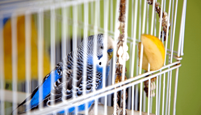 Should I Cover My Parakeet's Cage at Night