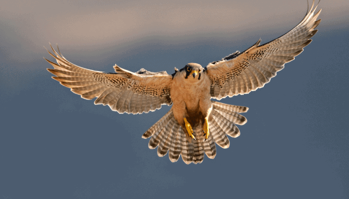 Types of Falcon Breeds in The World
